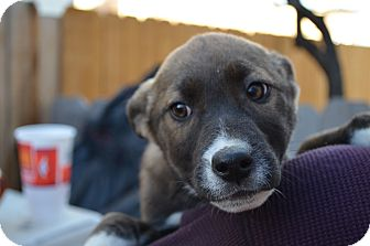 Border Collie/Shepherd (Unknown Type) Mix Puppy for adoption in Westminster, Colorado - Eve
