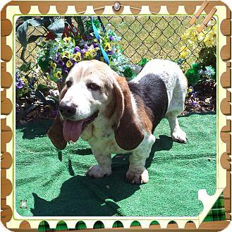 Basset Hound Dog for adoption in Marietta, Georgia - RUPERT
