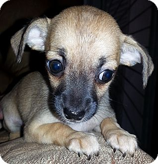 Rat Terrier/Chihuahua Mix Puppy for adoption in Santa Ana, California - Mabel