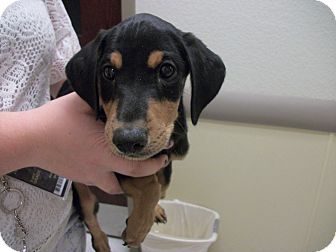 Doberman Pinscher Puppy for adoption in Albuquerque, New Mexico - Godric (Adopt Pending)