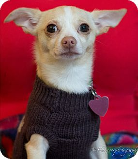 Chihuahua Dog for adoption in Vacaville, California - Flower