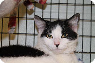 Domestic Shorthair Cat for adoption in Pittsburg, Kansas - Mari