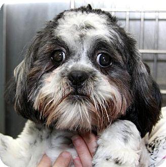 Shih Tzu Dog for adoption in Winder, Georgia - Bo and Luke