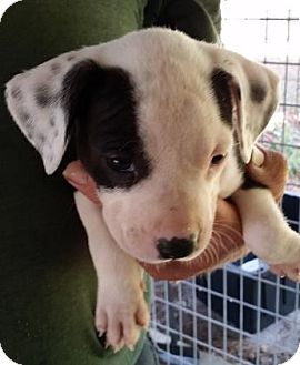 Pit Bull Terrier Mix Puppy for adoption in Gainesville, Florida - Serrano