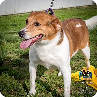 Beagle Mix Dog for adoption in Evansville, Indiana - Riggs