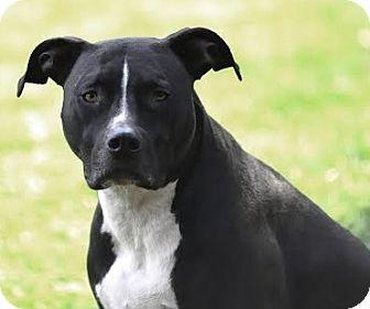 American Bulldog/Labrador Retriever Mix Dog for adoption in Van Nuys, California - Felix