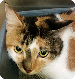 Domestic Shorthair Cat for adoption in Adrian, Michigan - Paddi Cake