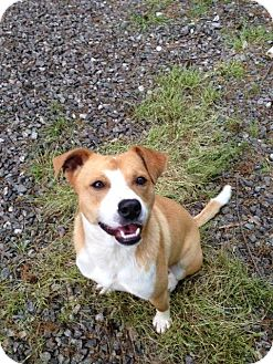 Jack Russell Terrier/Corgi Mix Dog for adoption in Point Pleasant, Pennsylvania - PARKER-PENDING