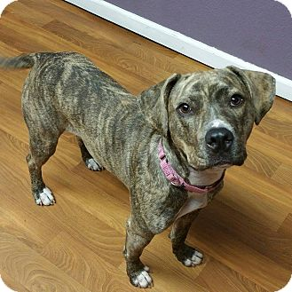 Pit Bull Terrier Mix Dog for adoption in Lisbon, Ohio - Cammie