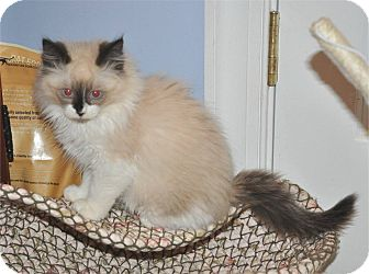 Ragdoll Kitten for adoption in Anderson, South Carolina - Sir George