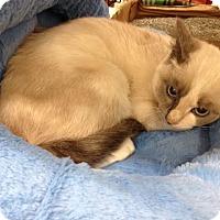 Adopt A Pet :: Divinity - Dallas, TX