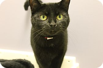 Domestic Shorthair Cat for adoption in Medina, Ohio - Lee