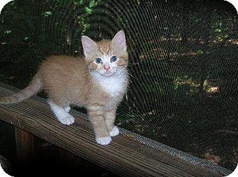 Domestic Mediumhair Cat for adoption in Lovingston, Virginia - Arnold (FC=mc)