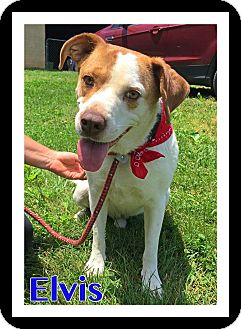 Beagle/Labrador Retriever Mix Dog for adoption in Arlington, Virginia - Elvis