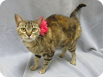 Domestic Shorthair Cat for adoption in Lexington, North Carolina - Victoria