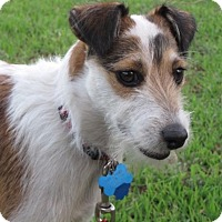Adopt A Pet :: Buddy in San Antonio - Austin, TX