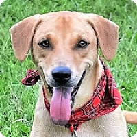 Labrador Retriever Mix Dog for adoption in San Francisco, California - Ivan