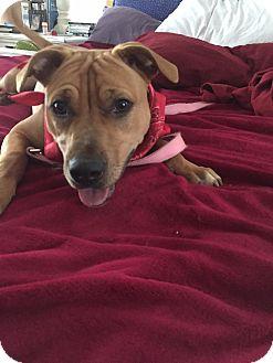 Labrador Retriever Mix Dog for adoption in Tallahassee, Florida - Crystal
