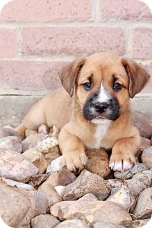 Boxer/American Staffordshire Terrier Mix Puppy for adoption in North Vancouver, British Columbia - Jaxson