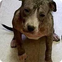 Adopt A Pet :: Beth - Halifax, NC