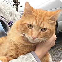 Adopt A Pet :: Tommy-Tom-KING of LAPs - New York, NY