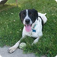 Adopt A Pet :: Molly - Minneapolis, MN