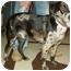 Photo 4 - Australian Shepherd/Husky Mix Puppy for adoption in North Judson, Indiana - Dough Boy