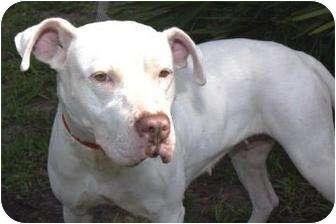 American Pit Bull Terrier Dog for adoption in Daytona Beach, Florida - TABITHA