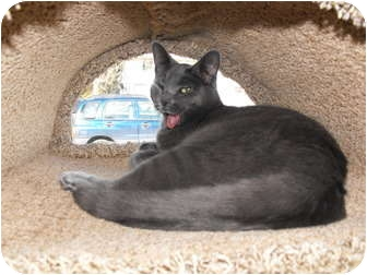 Russian Blue Cat for adoption in Byron Center, Michigan - Herman