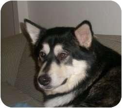 Alaskan Malamute Dog for adoption in Belleville, Michigan - Fiyero--Adopted!