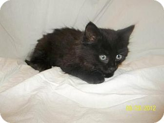 Domestic Mediumhair Kitten for adoption in Norwich, New York - Blair