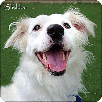 Australian Shepherd/Clumber Spaniel Mix Dog for adoption in Vista, California - Sheldon