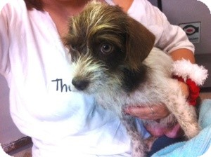 Wirehaired Fox Terrier/Shih Tzu Mix Dog for adoption in Homestead, Florida - Lizzie