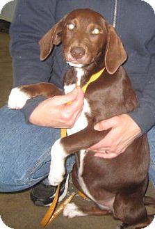 Labrador Retriever/Pointer Mix Dog for adoption in Newberry, South Carolina - Mocha