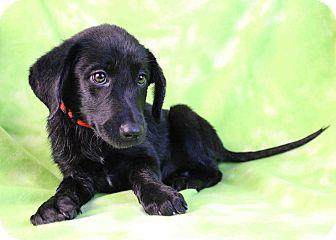 Labrador Retriever Mix Puppy for adoption in Westminster, Colorado - FIONA
