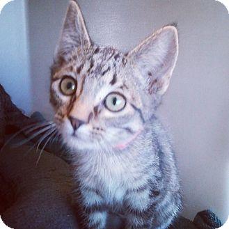 Domestic Shorthair Kitten for adoption in Buena Vista, Colorado - Blitz