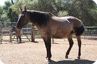 Quarterhorse Mix for adoption in El Dorado Hills, California - Mama G