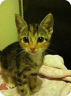 Domestic Shorthair Kitten for adoption in Long Beach, California - GIGI