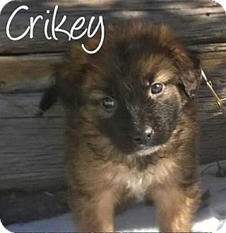 Shepherd (Unknown Type) Mix Puppy for adoption in Greeley, Colorado - Crikey