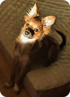 Papillon/Chihuahua Mix Puppy for adoption in Proctorville, Ohio, Ohio - Cricket