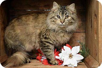 Domestic Mediumhair Cat for adoption in Germantown, Maryland - Brandy