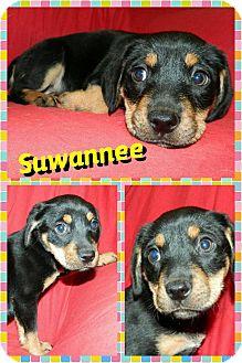 Beagle/Border Collie Mix Puppy for adoption in Newnan, Georgia - Suwannee (Sue)
