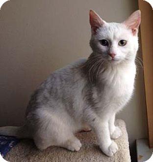 Domestic Shorthair Kitten for adoption in Merrifield, Virginia - Sweet Pea