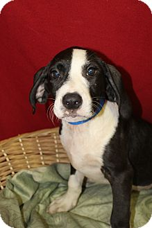 Beagle Mix Puppy for adoption in Waldorf, Maryland - Fatty