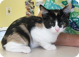 Calico Kitten for adoption in Newburgh, Indiana - Patch- Sweet !