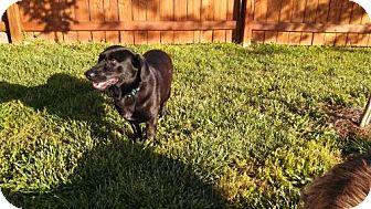 Labrador Retriever/Dachshund Mix Dog for adoption in Point Pleasant, Pennsylvania - BAYLOR-PENDING