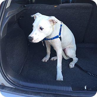 Bulldog Mix Puppy for adoption in Tampa, Florida - Winter