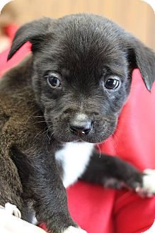 Pit Bull Terrier/Labrador Retriever Mix Puppy for adoption in South Haven, Michigan - James Potter