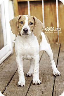 English (Redtick) Coonhound/Beagle Mix Puppy for adoption in Cincinnati, Ohio - April