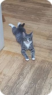 Domestic Shorthair Kitten for adoption in San Diego, California - Tom
